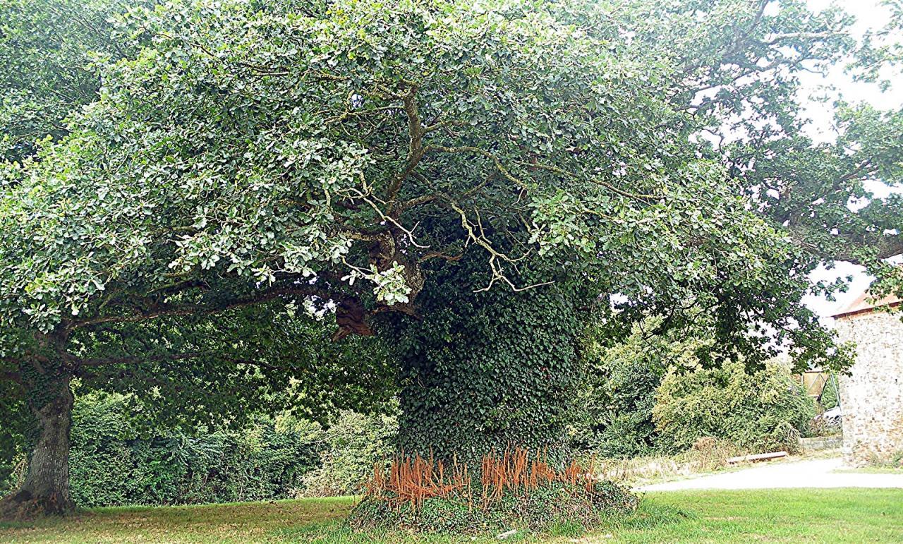 un beau  chêne